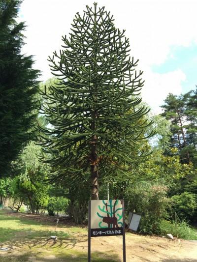 モンキーパズルの木