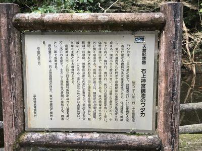 石上神宮鏡池のワタカ