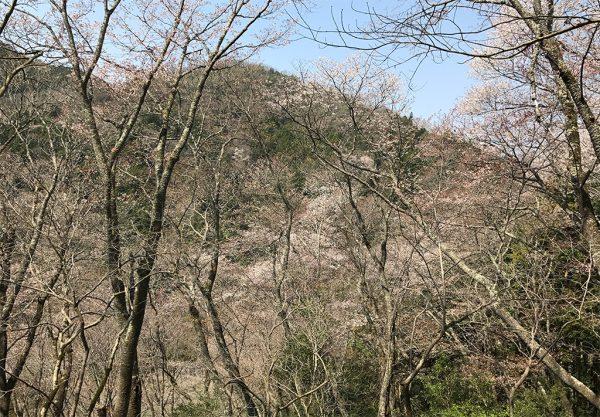桜坂・ヤマザクラ