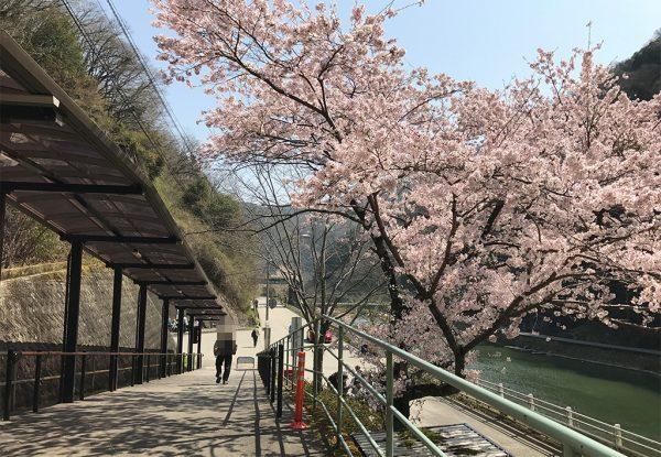 武田尾駅改札出口すぐの桜(ソメイヨシノ)