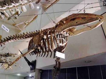 くじら博物館 セミクジラ 標本