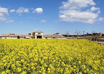 長井海の手公園 ソレイユの丘 菜の花畑