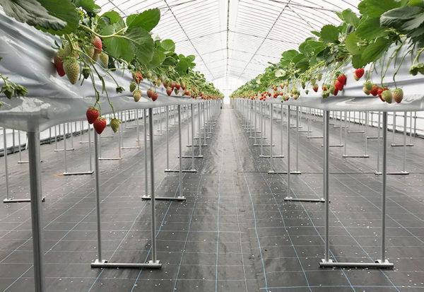 滋賀 長浜 いちご農園 中川農園 高設栽培