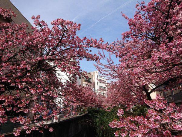 熱海 糸川桜まつり あたみ桜