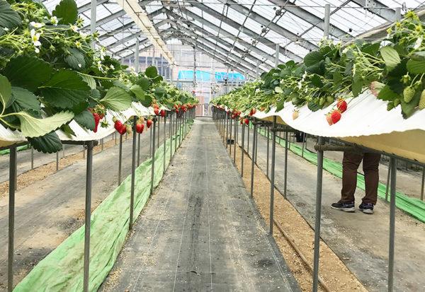 和歌山 いちご農園 紀の国 高設栽培