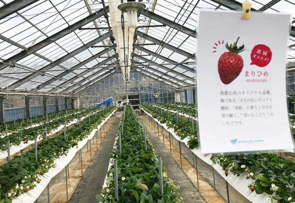 和歌山 いちご農園 紀の国 まりひめ