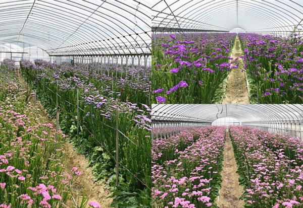 和歌山 いちご農園 紀の国 スターチス