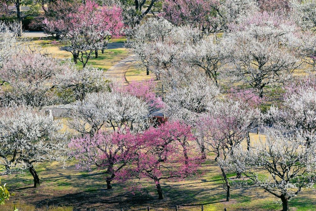 茨城 水戸 偕楽園 梅まつり